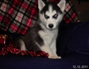 Cute and Adorable Siberian Huskey for good homes