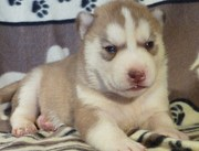 Charming Blue Eyes Siberian Husky puppies for sale