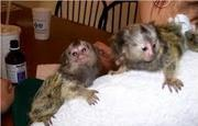 600 adorable little Wonderful Pygmy Marmoset and Capuchin 07031957695