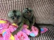 3T Pairs Capuchin pygmy marmoset available 07031956739