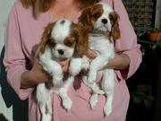 King Charles puppies for adoption